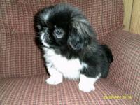 One adorable and playful little black female Pekingese