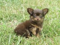 Adorable little Pomchi puppies. 3 males, up to date on