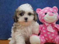 ADORABLE LITTLE TEDDY BEAR (SHIH CHON) PUPPY READY FOR