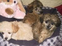 I have three small Shih/Poos, all are females.