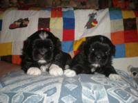 AKC Shih Tzu puppies Very sweet and loving companion