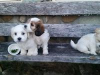 Adorable little summer puppies for sale. 8 weeks old,
