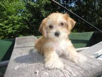 Grogeous little Yo-Chon Puppy,( Yorkie/ Bichon). He is