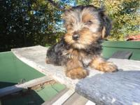 Cute little Yorkie Puppy. He is 10 weeks old. He is