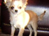 I have 3 very cute Chihuahuas for sale..one is 5 month