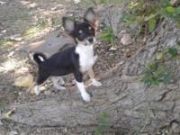 Adorable Long Hair Female Chihuahua. 14 weeks old. Up