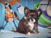 . Apple-head toy chihuahua for sale. He is Brindle and