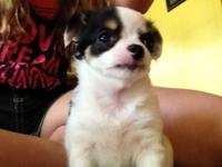 We have 3 Long Hair Chihuahua puppies for adoption.