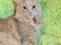 Qiu is a almost 9 month neutered male cat, he is about