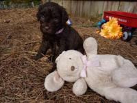 These Labradoodles are raised in a home filled with