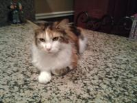 Adorable calico purebed Maine Coon 2 year old female