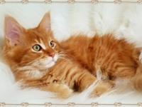 Adorable Maine Coon Kittens available around Oct 18th