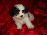 ONE FEMALE LEFT. Beautiful Mal Shi puppy. Guaranteed