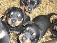 Animal Type: Dogs Breed: Rottweiler Adorable male and