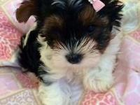 Adorable 8 week old Yorkie biewer puppies for sale also