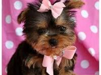 beautiful and playful young boy and girl Yorkie
