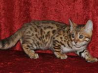 Beautiful Bengal Kitten available from Supreme Grand