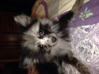 I have an adorable male blue Merle Pomeranian for sale.