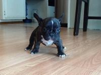 Adorable male French Bulldog puppy - born August 30th -