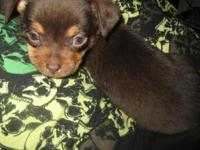 I have an adorable male Chihuahua puppy ready for his