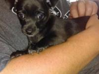 I have an adorable 8 week old male chihuahua puppy.he