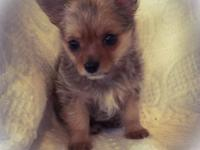 I have an absolutely adorable little male chorkie. He's