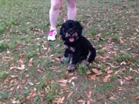 7mth old male Cockapoo puppy, Yoshi. He his black and