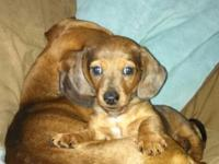 Adorable male dachshund offered for a forever caring