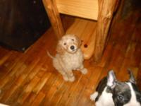 I have one Goldendoodle puppy born July 15. He was the