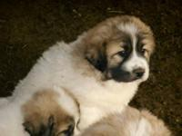 Purebred male great pyrenees puppies. They are from