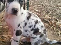 Attractive Male harlequin AKC signed up Great Dane