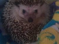 I'm re-homing my male hedgehog. I'm moving soon and