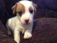 Lovable male Jack Russell, very sweet just wants to be