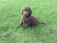 Male Chocolate Labradoodle $800 Ready to go. Family