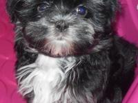 Oliver is a sweet, caring, spirited male Maltipoo that