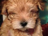Satisfy the cutest little Morkie puppy ever! His Mom is