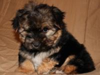 Morkie For Sale In Arkansas Classifieds Buy And Sell In Arkansas