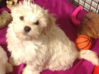 I have a playful and cute male Morkiepoo. He is 8 weeks