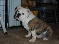 We have this beautiful olde English bulldog male