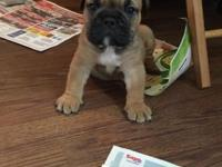 Hello, I have an adorable male olde English Bulldogge.