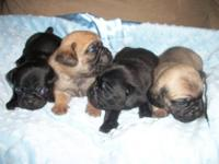Adorable Male Puggle Puppies. They will be ready to