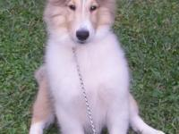 zeke is a beautiful male rough coat collie. He is very