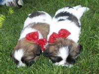 I have two adorable male shih tzu puppies for sale.