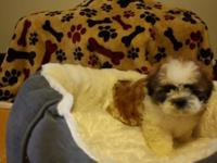 Lucas, is a Adorable Male Shih Tzu for sale. Dad weighs