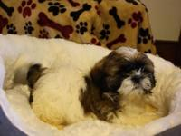 Max is a Adorable Male Shih Tzu for sale. Daddy weighs