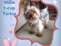 This is the ideal t-cup Yorkie in every way. This young