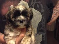Adorable male teddy bear puppy born 9/8/2015. A Teddy