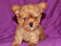 Adorable first generation Yorki-Poo male puppy. Current