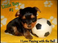 "Adorable Male Yorkie Puppies For Sale ""Whoever said you"