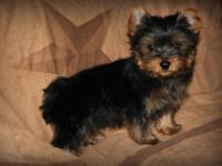 I have a little male yorkie for sale, he is ready now